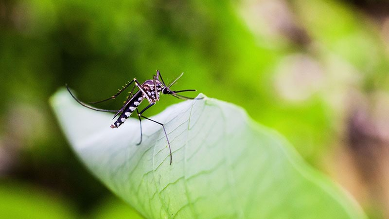 A closeup of a mosquito positioned on a green leaf