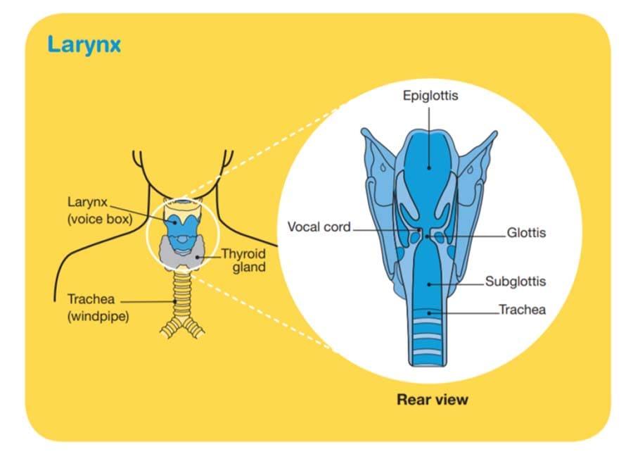 Larynx - Cancer Council