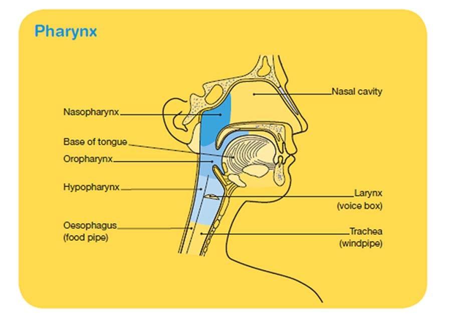 Pharynx - Cancer Council