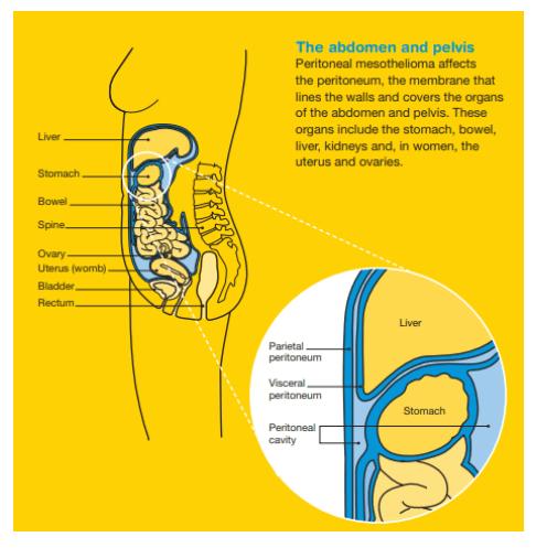 The Abdomen and Pelvis Infographic
