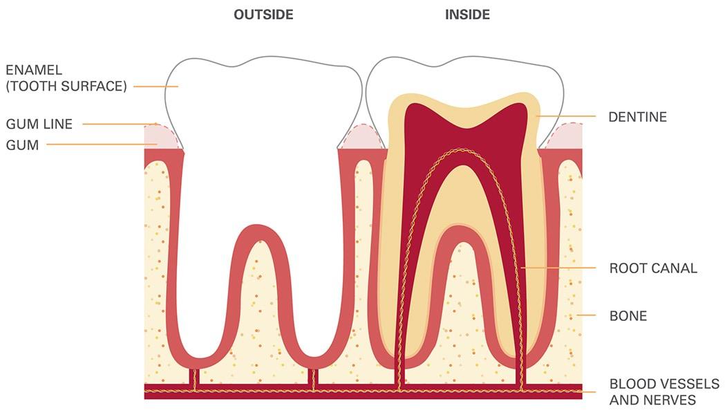 DHSV_toothdiagram-1050x600
